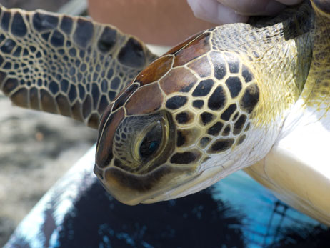 Green turtle from St. Kitts