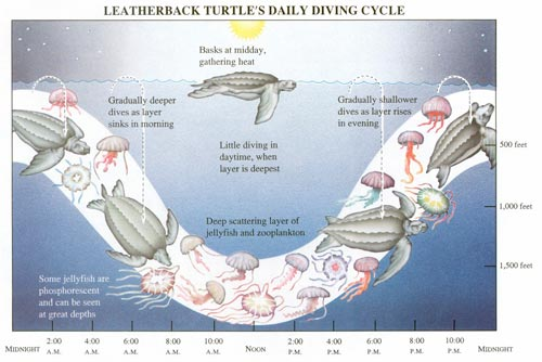 Scientists discovered that leatherbacks follow the daily up and down migration of jellyfish in the ocean.