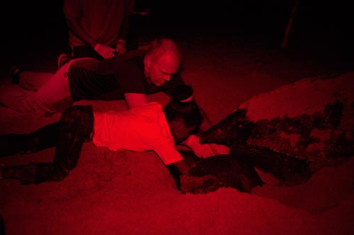 Keeping track of the count as a mother leatherback lays her eggs.