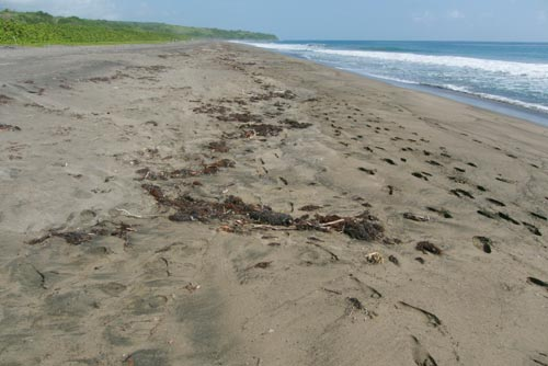 Prime leatherback sea turtle nesting beach on St. Kitts.