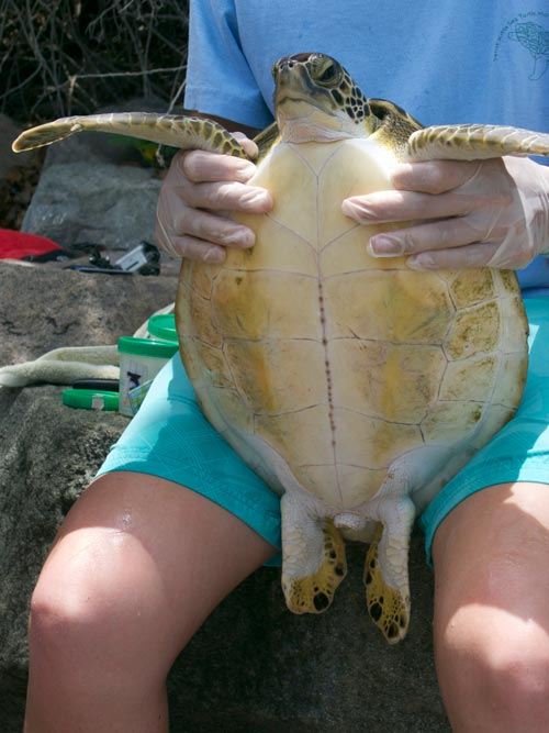 Kimberly shows the plastron or underside of a green sea turtle.